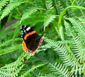 Red Admiral on Bracken - geograph.org.uk - 921923.jpg