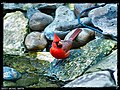Red Cardinal - Flickr - pinemikey.jpg