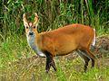 Red Muntjac (Muntiacus muntjak curvostylis) (6963743562).jpg