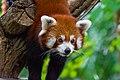 Red Panda (37312208304).jpg
