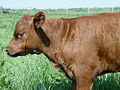 Red Poll Calf.jpg