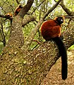 Red Ruffed Lemurs.jpg
