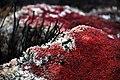 Red Sphagnum Closeup.JPG