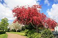 Red blossomed tree - geograph.org.uk - 1834806.jpg