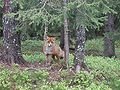Red fox norway 1.JPG