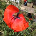 Red tailed bumblebee (Bombus lapidarius) approaching a poppy, Sandy, Bedfordshire (9285426002).jpg