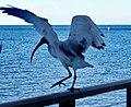 Redcliff dancing bird - panoramio.jpg