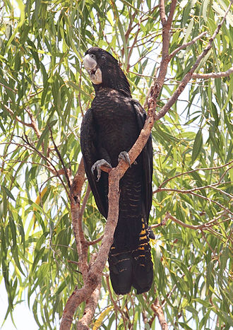 Red-tailed black cockatoo - Female, Northern Territory