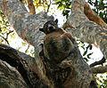 Redtailed sportive lemur.jpg