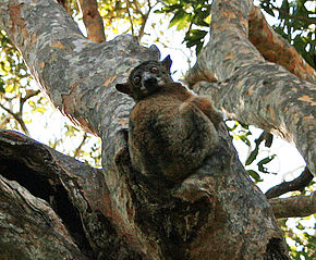 Description de l'image Redtailed sportive lemur.jpg.