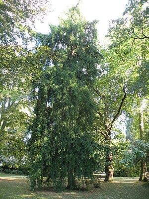 Torreya californica - Image: Rennes Parc Oberthur Torreya californica