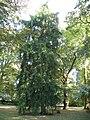 Rennes ParcOberthur Torreya californica.jpg