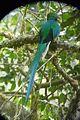 Resplendent Quetzal. Pharomachrus moccino - Flickr - gailhampshire.jpg