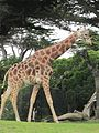 Reticulated Giraffe at SF Zoo 11.JPG