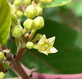 Rhamnus betulifolia var obovata 2.jpg