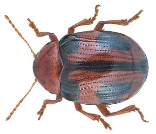 <i>Rhembastus</i> Genus of leaf beetles