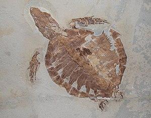 Protostegidae - Rhinochelys nammourensis