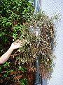 Rhipsalis pilocarpa, habitus 02.jpg