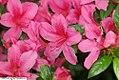Rhododendron Celestial 1zz.jpg