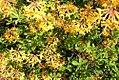 Rhododendron austrinum 2zz.jpg
