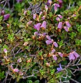 Rhododendron campylogynum 03.jpg