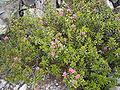Rhododendron ferrugineum R0018441.JPG