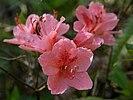 Rhododendron kaempferi var. kaempferi 、ヤマツツジ4256409.JPG
