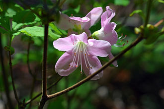 Rhododendron schlippenbachii - Image: Rhododendron schlippenbachii