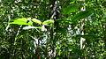Rhodospatha latifolia Poepp. (8986274666).jpg
