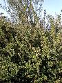 Rhus integrifolia 2c.JPG