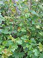 Ribes aureum (26571192892).jpg