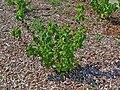 Ribes nigrum 001.JPG