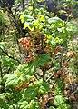 Ribes petraeum kz01.jpg