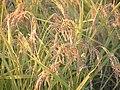 Rice Japonica Koshihikari.jpg