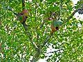 Ridley's Staghorn Ferns (Platycerium ridleyi) (8080142327).jpg