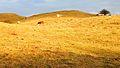 Rinder auf der Weide nördl.v. Kloster auf Hiddensee.jpg