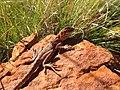 Ring-tailed Dragon (Ctenophorus caudicinctus) (8851949498).jpg