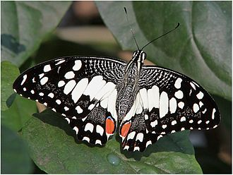 Lepidoptera in the 10th edition of Systema Naturae - The common lime was named Papilio demoleus in 1758.