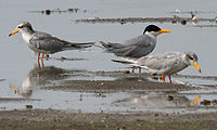 River Tern (Sterna aurantia)- Adult & Immature W IMG 9721