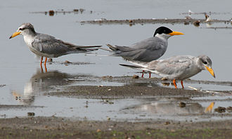 Tern - River tern adult and immatures