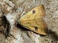 Rivula sericealis - Straw dot - Совка малорослая (40832184212).jpg