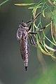 Robber fly (35270992064).jpg
