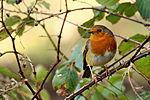 Robin (24994747566).jpg