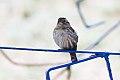 Rock Sparrow (Petronia petronia) (8079432798).jpg