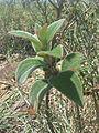 Roraima plant7.jpg
