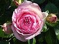 Rosa 'Eden Rose' J1.JPG