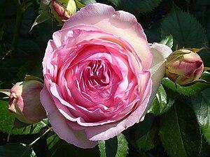 Rosa 'Eden' - Image: Rosa 'Eden Rose' J1