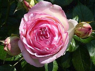 Pierre de Ronsard - Rose cultivar 'Pierre de Ronsard', named in reference to Ronsard's poem Ode à Cassandre (Mignonne, allons voir si la rose...)