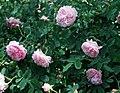 Rosa 'Quatre Saisons'.jpg