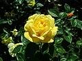 Rosa Arthur Bell 2019-05-29 4148.jpg